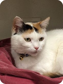 Domestic Shorthair Cat for adoption in Chicago, Illinois - Jubilee