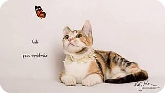Domestic Shorthair Cat for adoption in Corona, California - CALI