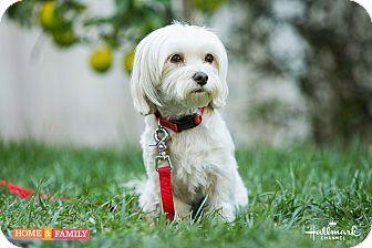 Maltese Mix Dog for adoption in West LA, California - Lady Mac Beth