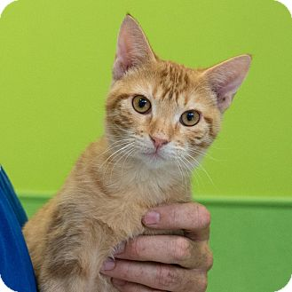 Domestic Shorthair Kitten for adoption in Houston, Texas - Pancho
