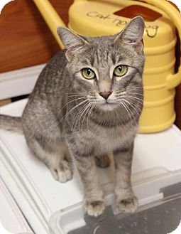 Domestic Shorthair Cat for adoption in Dallas, Texas - Violet