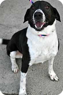 Pointer Mix Dog for adoption in Fairfax Station, Virginia - Columbo