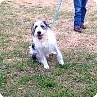 Old English Sheepdog/Poodle (Standard) Mix Dog for adoption in Mount Mourne, North Carolina - Max