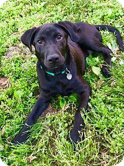 Hound (Unknown Type)/Labrador Retriever Mix Puppy for adoption in Little Rock, Arkansas - Oscar
