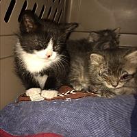 Adopt A Pet :: Kittens - Clay, NY