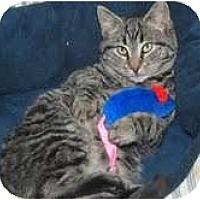 Adopt A Pet :: Snooki - Arlington, VA