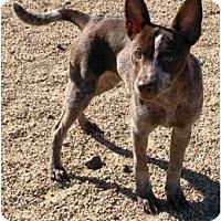 Adopt A Pet :: Mr Mocha - Phoenix, AZ