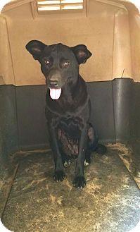 Labrador Retriever/Terrier (Unknown Type, Medium) Mix Dog for adoption in Cuero, Texas - Mariah