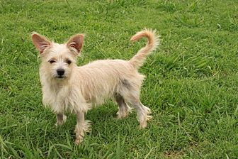 Terrier (Unknown Type, Small) Mix Puppy for adoption in Plainfield, Connecticut - Buttercup