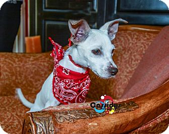 Chihuahua Mix Dog for adoption in Matthews, North Carolina - Donald