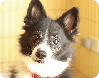 Border Collie/Sheltie, Shetland Sheepdog Mix Dog for adoption in Romeoville, Illinois - Sprout