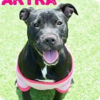 Adopt A Pet :: Akyra - Tower City, PA