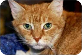 Domestic Shorthair Cat for adoption in Woodstock, Georgia - Pool Kitty