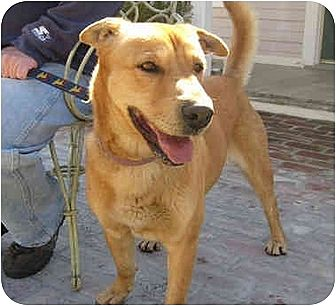 Shepherd (Unknown Type) Mix Dog for adoption in Encino, California - Star
