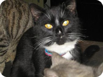 Domestic Mediumhair Cat for adoption in Hilham, Tennessee - Figuro