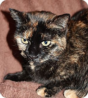 Domestic Shorthair Cat for adoption in Laingsburg, Michigan - Kiwi