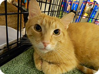 Domestic Shorthair Cat for adoption in The Colony, Texas - Oscar