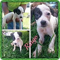 Adopt A Pet :: Ringo - Stamford, CT