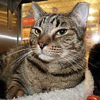 Domestic Shorthair Cat for adoption in Capshaw, Alabama - T.S. Elliott