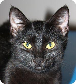 Domestic Shorthair Cat for adoption in North Branford, Connecticut - Batman - adoption pending