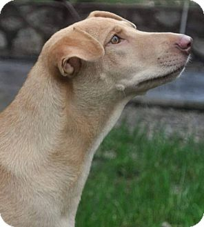 Whippet/Retriever (Unknown Type) Mix Dog for adoption in WADSWORTH, Illinois - DAPHNE