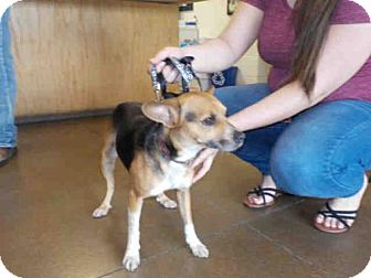Beagle Mix Dog for adoption in Temple, Texas - LITTLE BIT