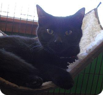 Domestic Shorthair Cat for adoption in Fairborn, Ohio - Sally-Diamond Litter
