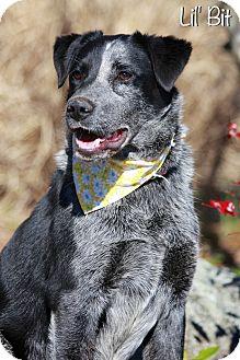 Australian Cattle Dog/Australian Shepherd Mix Dog for adoption in Albany, New York - Lil' Bit