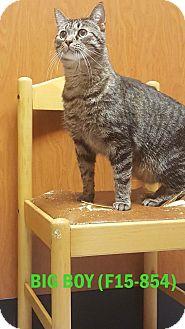 American Shorthair Cat for adoption in Tiffin, Ohio - Big Boy
