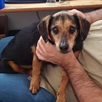 Dachshund/Chihuahua Mix Dog for adoption in Rosamond, California - Shorty