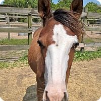 Quarterhorse Mix for adoption in Hitchcock, Texas - Rayme