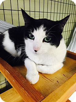 Domestic Shorthair Cat for adoption in Holland, Michigan - Layla