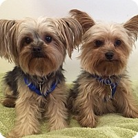 Adopt A Pet :: Chanel and Gucci MUST GO TOGET - Los Angeles, CA