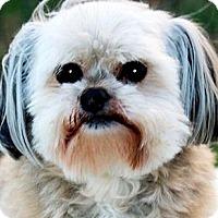 Adopt A Pet :: JOY(ADORABLE TINY LITTLE DOLL! - Wakefield, RI