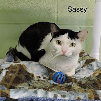 Domestic Shorthair Cat for adoption in Slidell, Louisiana - Sassy
