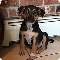 Adopt A Pet :: Rotti - Minot, ND