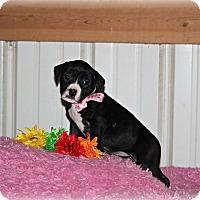 Adopt A Pet :: Lilac - Brattleboro, VT