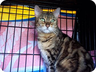 Bengal Cat for adoption in Lantana, Florida - Mya