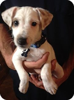 Jack Russell Terrier/Terrier (Unknown Type, Small) Mix Puppy for adoption in Richmond, Virginia - Ralphie