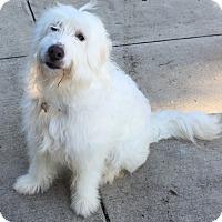 Adopt A Pet :: Bella ADOPTION PENDING - Bloomington, IL