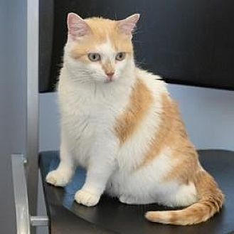 Domestic Shorthair Cat for adoption in Denver, Colorado - Angelina