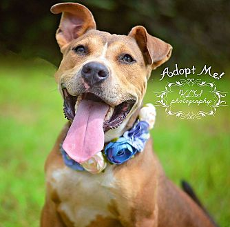 Shar Pei/American Bulldog Mix Dog for adoption in Fort Valley, Georgia - Jasmine