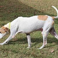 American Pit Bull Terrier Dog for adoption in Edmond, Oklahoma - RANDY