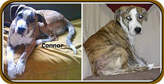 Pit Bull Terrier Mix Puppy for adoption in Malvern, Arkansas - CONNOR