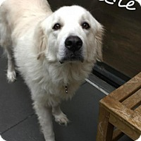 Great Pyrenees Dog for adoption in Kyle, Texas - Sadie Lew