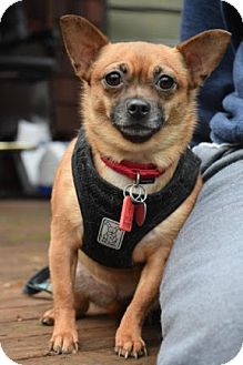 Chihuahua Mix Dog for adoption in McKenna, Washington - Miss Cynamon