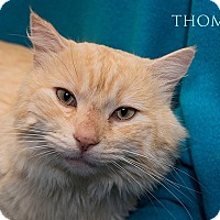 Domestic Mediumhair Cat for adoption in San Juan Capistrano, California - Thomas