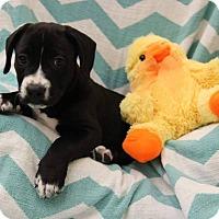 Adopt A Pet :: Buzz - Windermere, FL