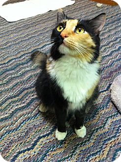 Domestic Longhair Cat for adoption in Fountain Hills, Arizona - OPAL