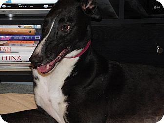 """Greyhound Dog for adoption in Smyrna, Tennessee - WSS Zeus """"Zeus"""""""